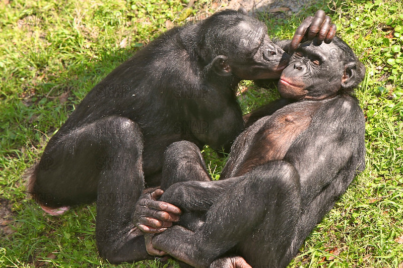Two adult female Bonobos (Pan paniscus) showing affection at the Jacksonville Zoo and Gardens.