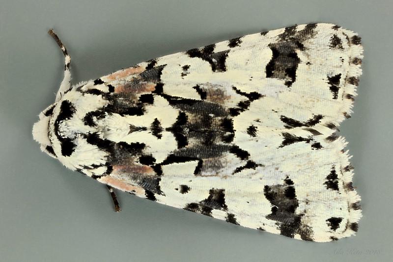 Epicyrtica docima Turner, 1920 (Erebidae)