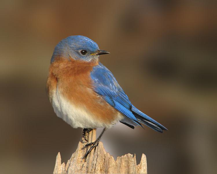 bluebird_2290.jpg