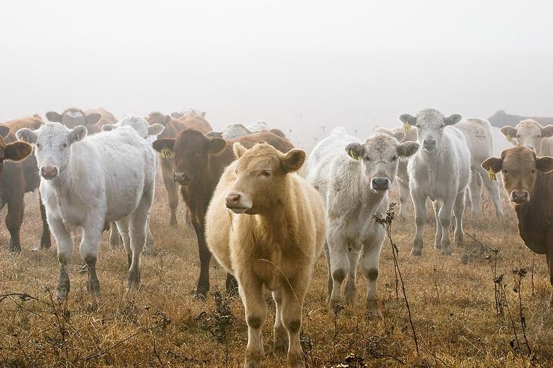 Calves In Fog