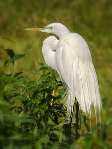 Snowy Egret in full plumage