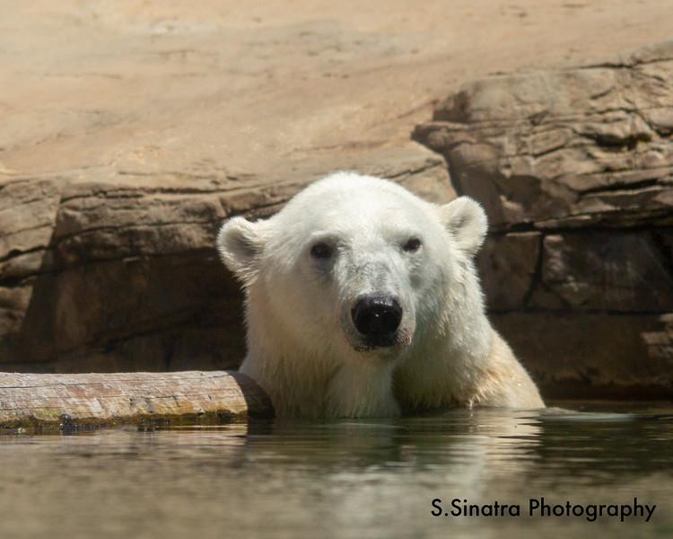 polar bear (16 of 50).jpg