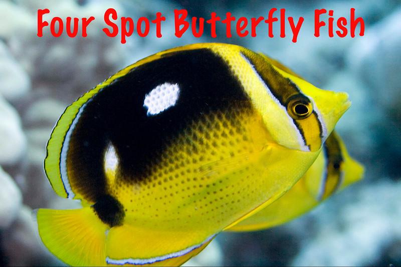 4 Spot Butterflies.jpg