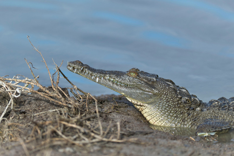 American Crocodile Eco Pond, Everglades National Park Flamingo, Florida © 2012