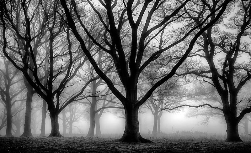 oaks in mist 5.jpg