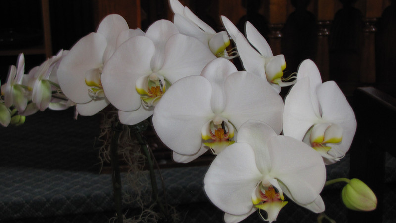 Orchid from great-grandson Will Giombi