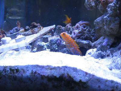 Blue Dot Jawfish