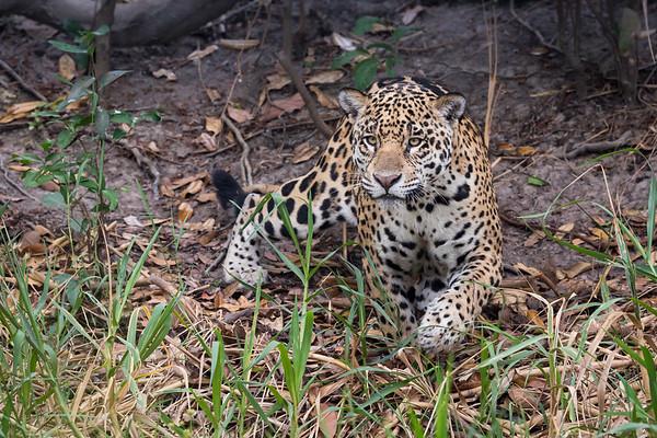 Brazil: the Pantanal and the Amazon
