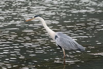 Heron, Grey (spp. jouyi)