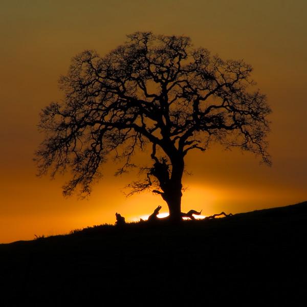 Oak at Sunset-1.jpg