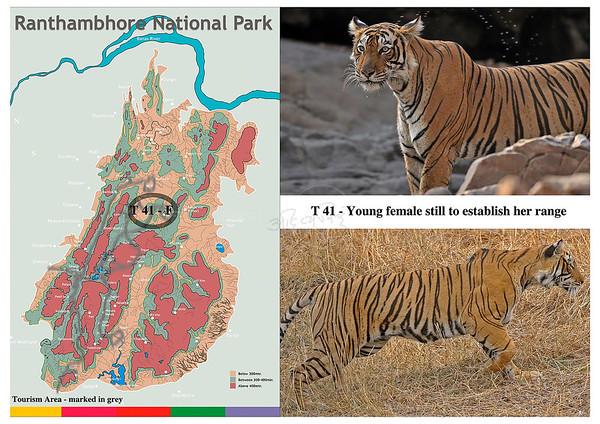T 41 Ranthambhore tiger