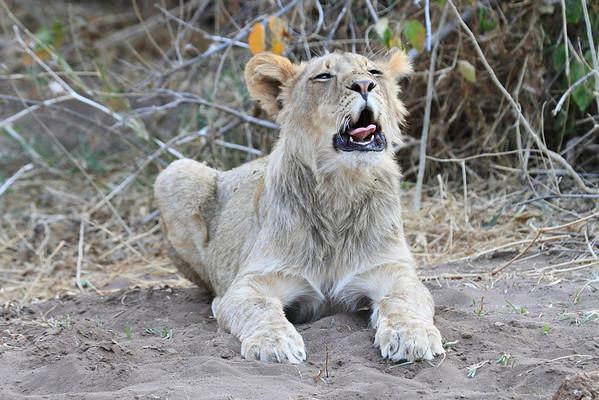 Lion Mashatu Botswana 2013 and 2017