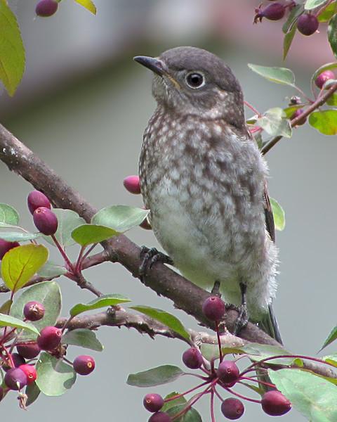 sx30_bluebird_fledgling_026.jpg