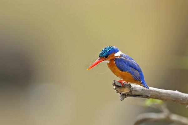 Malachite kingfisher in Masai Mara
