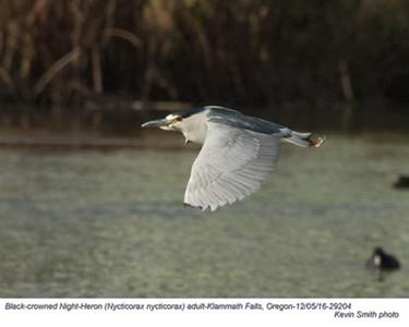 Black-Crowned Night-Heron A29204.jpg