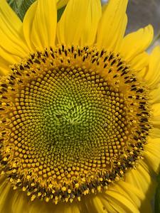 2020 08 14: Sunflower damage/fell at Community Garden