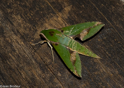 Papillons du Panama; Saturnidae, Sphingidae