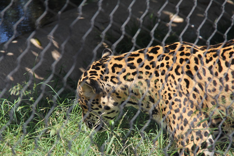 20170807-085 - San Diego Zoo - Leopard.JPG