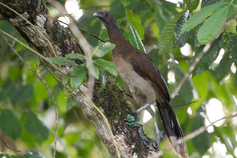 19-Sept Costa Rica Birds-0975.JPG