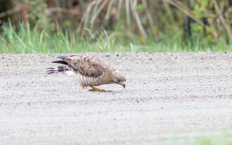 Broad-winged Hawk eating earthworms Sax-Zim Bog MN-07863.jpg