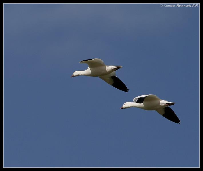 Ross's Geese, near Unit 1, Salton Sea, Imperial County, California, November 2009
