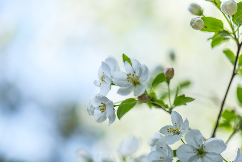 Apple Blossom 16