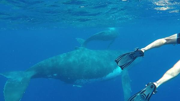 Tonga Whale Swimming