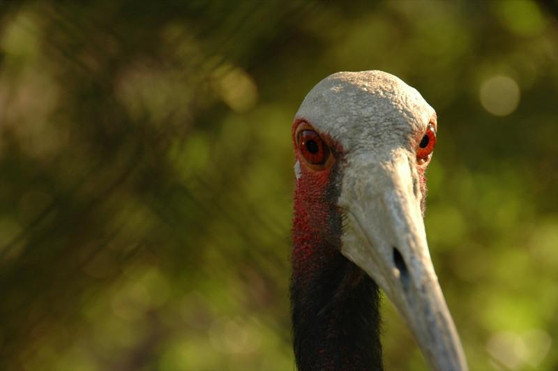 Red-Eyed Bird at Gorki Park Zoo - Almaty, Kazakhstan