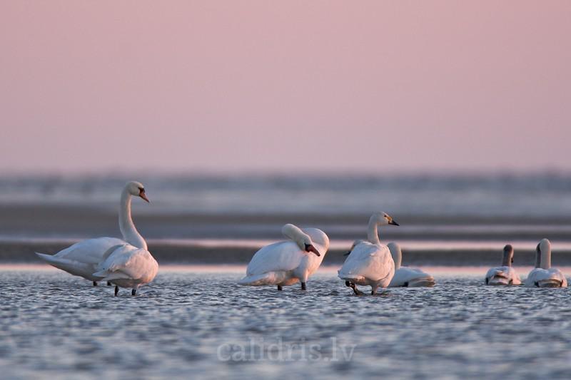 Bewick's swan and Mute Swans in sea / Mazie gulbji kopā ar paugurknābja gulbjiem jūrā