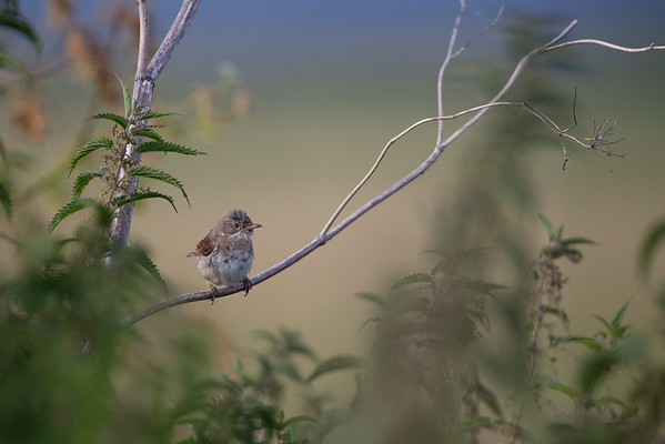 Whitethroat Warblers