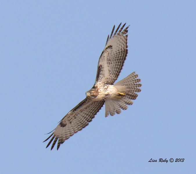 Light Morph Red-Tailed Hawk - Salt Works - 10/27/13