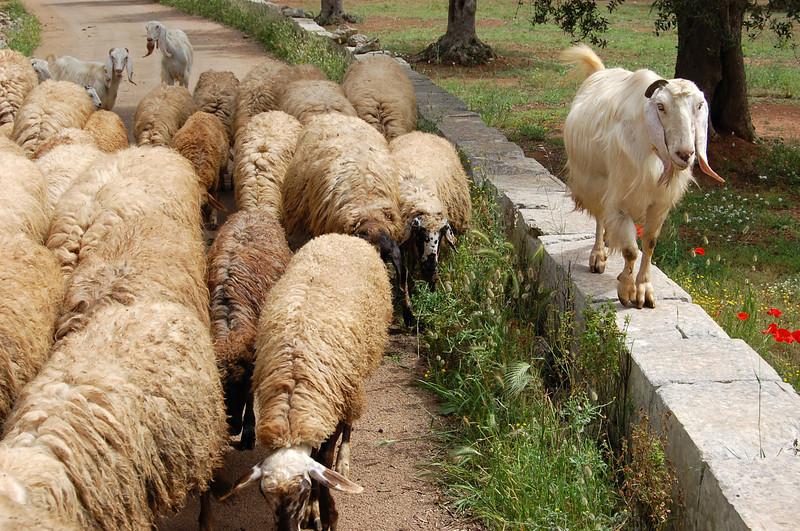 Cursi_Goat.jpg