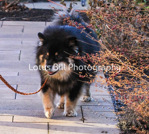 Finnish Lapphund Shepherd Saturday