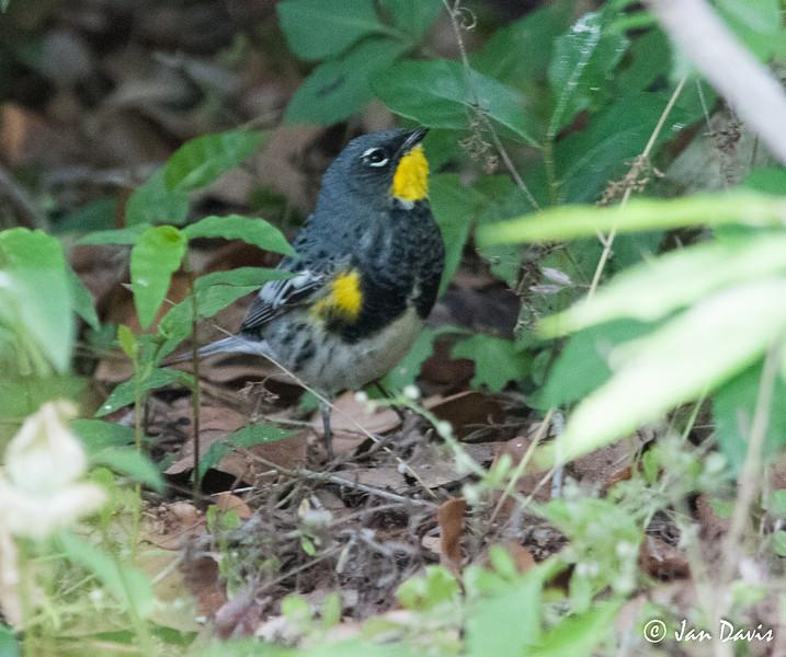 Yellow-rumped Warbler, Audubon's