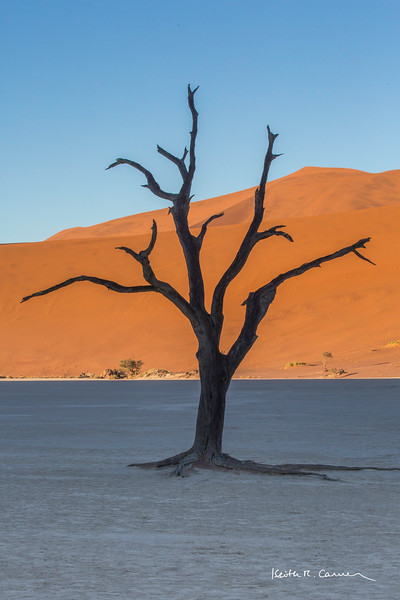 Sun-blackened camel thorn tree at Deadvlei