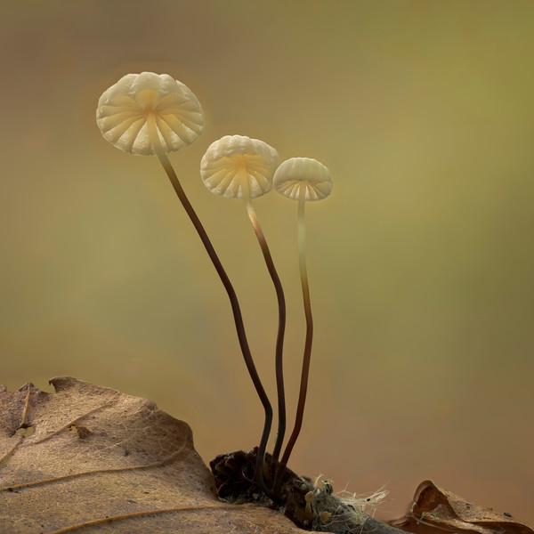 Parachute (Marasmiellus) fungus;