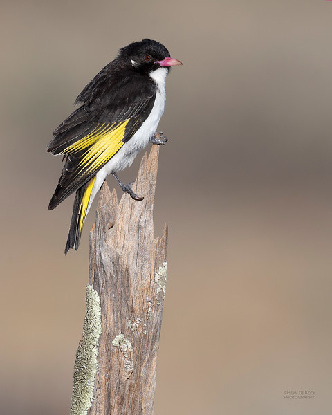 Painted Honeyeater, Deniliquin, NSW, Oct 2018-1.jpg