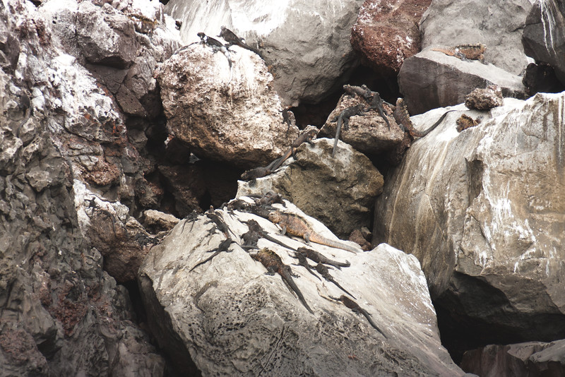 Family of Marine Iguanas : Journey into Genovesa Island in the Galapagos Archipelago