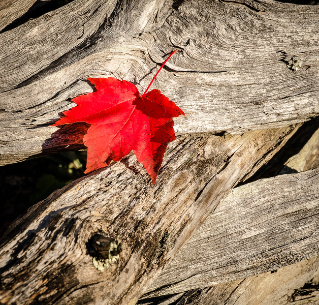 ©2016 Dennis A. Mook; All Rights Reserved; Maple Leaf.jpg