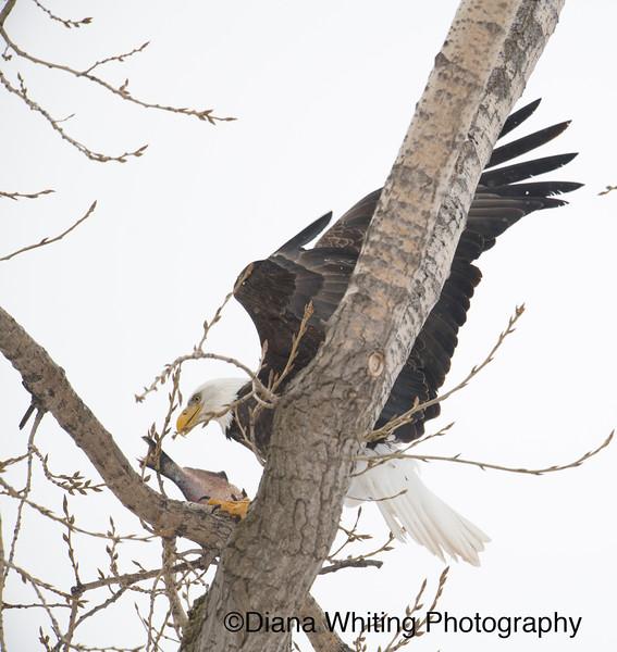 03_02_2019bald eagles_139 copy.jpg