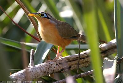 Lesser Ground-Cuckoo 1.jpg