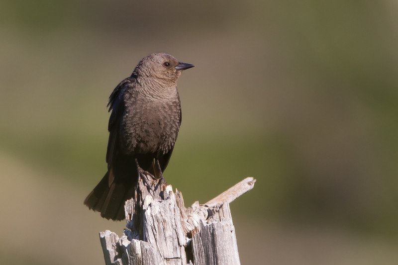 Brewer's Blackbird - Sierra Valley, CA, USA