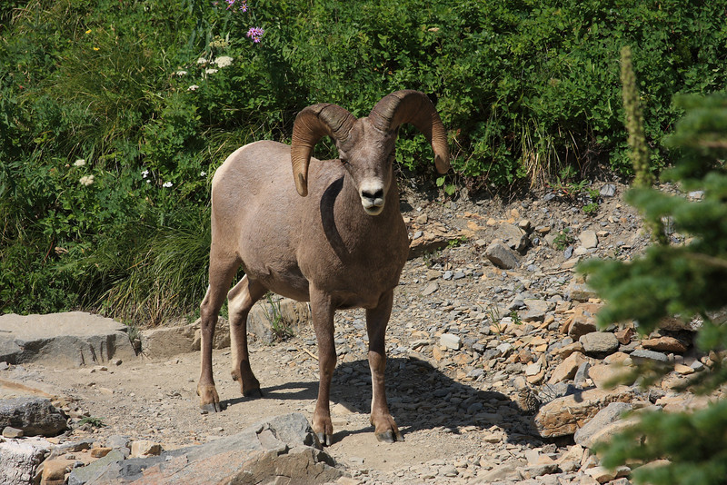 We hiked around a corner and were greeted by this Bighorn Sheep only a few feet away on the trail