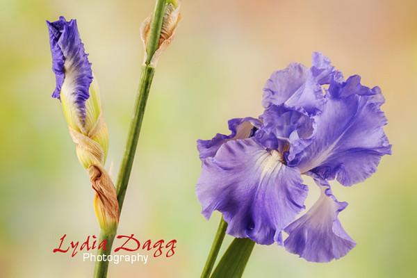 Elaine's Pacific Iris, #5514