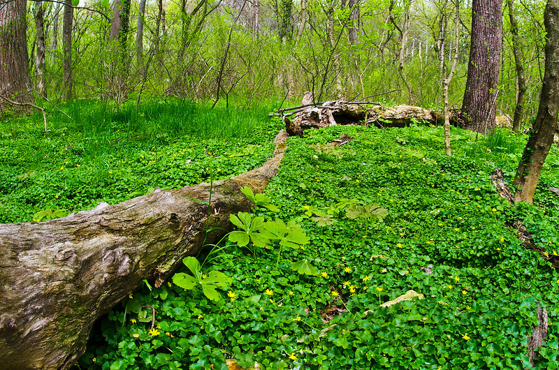 A fallen tree lies in a swampy area overrun with invasive lesser celandine, which is smoothering the naitve wildflowers, such as mayapples. Rock Creek Park in spring.