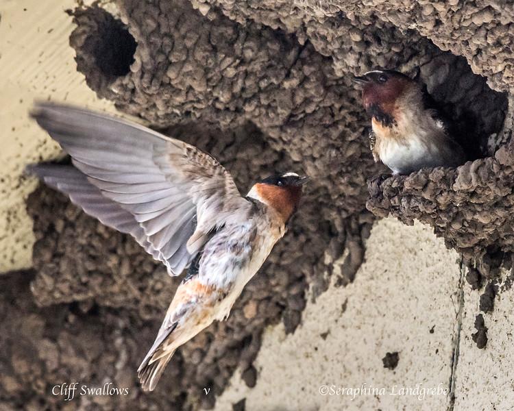_DSC7996Cliff swallow flying to nest.jpg