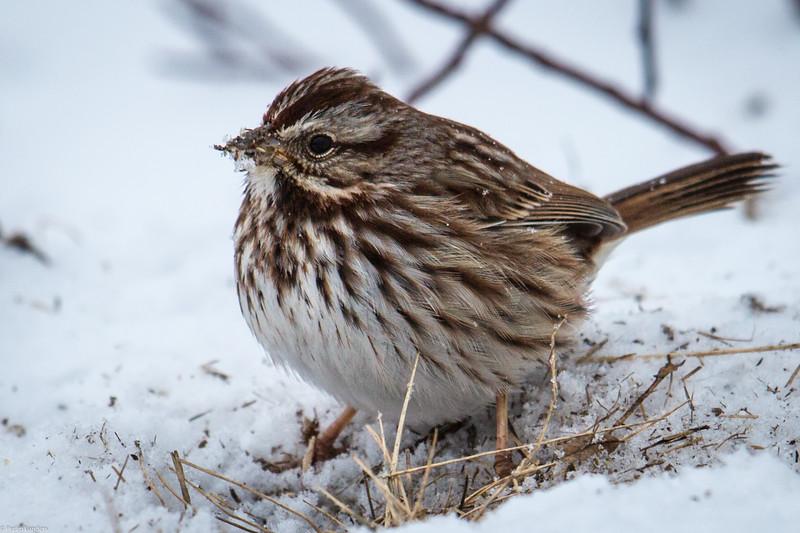 Song Sparrow in Winter