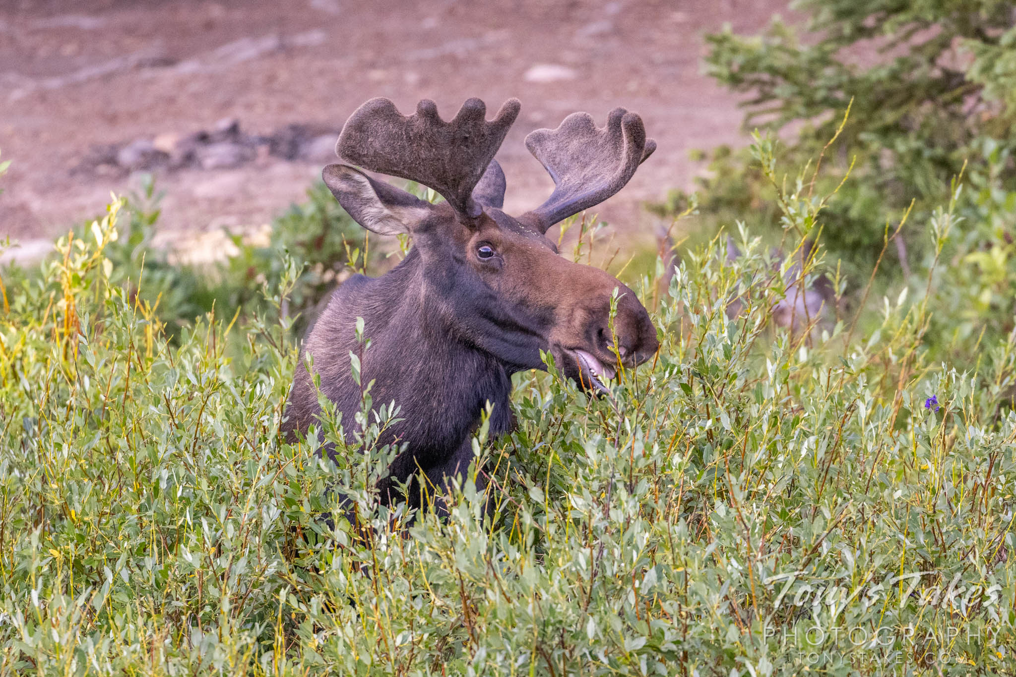 Snacking moose. Canon R5, Canon EF 100-400mm f/4.5-5.6L IS II USM @ 350mm, 1/500, f/5.6, ISO 3200.