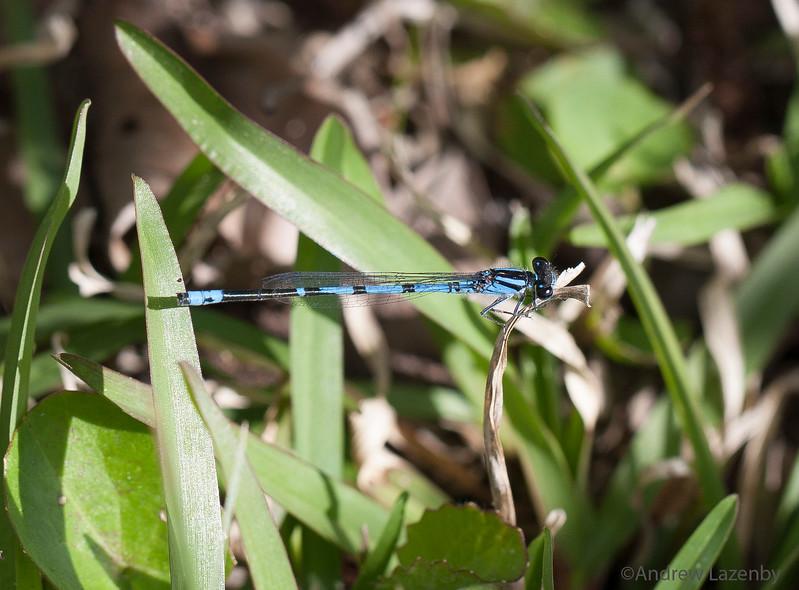 Blue Damsel Fly.jpg