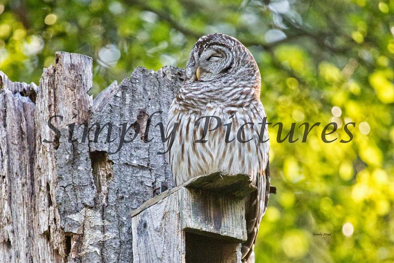 Owl  (36)